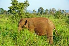 Un elefante fra la foresta Fotografia Stock