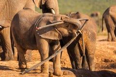Un elefante joven juega con basura en Addo Elephant Nationalpark imagenes de archivo
