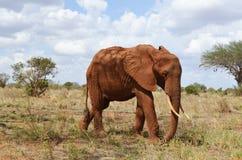 Un elefante, Kenia Fotografía de archivo libre de regalías