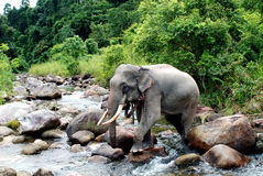 Un elefante maschio in un burrone Fotografia Stock