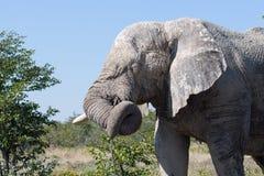 Un elefante masculino se coloca lateral encendido, él tiene fango en su cara y su tronco encrespados foto de archivo libre de regalías