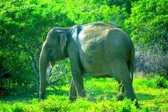Un elefante nel parco di Yalla, Sri Lanka immagine stock libera da diritti