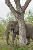 Un elefante que camina al lado de un árbol en el cual un leopardo miente durmiendo Imágenes de archivo libres de regalías