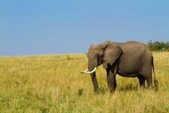 Un elefante solo que recorre en el Masai Mara foto de archivo libre de regalías