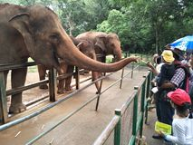 Un elefante sta aspettando pazientemente l'alimento dagli ospiti dello zoo per fornire un certo alimento fotografia stock