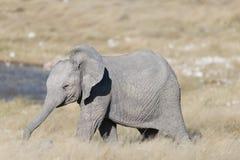 Un elefante sveglio del bambino con il suo tronco ha esteso la condizione davanti ad un waterhole fotografie stock libere da diritti