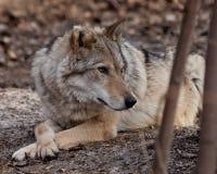 Un ella-lobo miente entre los matorrales de los ?rboles Lobo gris despredador potente en el bosque en primavera temprana foto de archivo libre de regalías