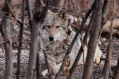 Un ella-lobo miente entre los matorrales de los ?rboles Lobo gris despredador potente en el bosque en primavera temprana fotos de archivo libres de regalías