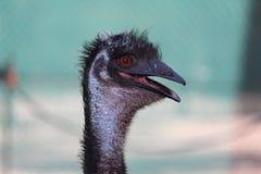 Un emù Fotografia Stock