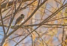 Un empavesado de lámina masculino en la coloración del invierno foto de archivo
