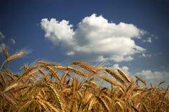 Un encadrement de verticale du blé et des nuages mûrs Image libre de droits