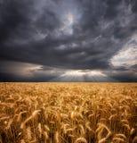 Un encadrement de verticale du blé et des nuages mûrs Photo libre de droits