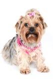 Un encanto yorkshire en collar rosado Foto de archivo