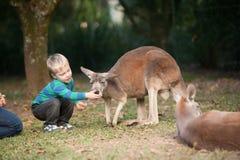 Un enfant en bas âge alimente un kangourou dans l'Australie au zoo Image stock