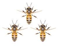 Un enjambre de abejas en un fondo blanco Fotos de archivo libres de regalías