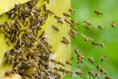 Un enjambre de abejas en la entrada de la colmena en colmenar Imagen de archivo