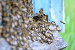 Un enjambre de abejas en la entrada de la colmena en colmenar Imagenes de archivo