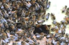 Un enjambre de abejas en la entrada de la colmena en colmenar Fotografía de archivo libre de regalías