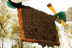 Un enjambre de abejas en marco del panal Fotografía de archivo