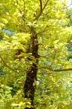 Un enjambre de abejas en un árbol de roble Imágenes de archivo libres de regalías