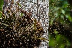 Un enjambre de Honey Bees sin aguijón Foto de archivo