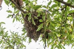 Un enjambre de la abeja en un árbol Fotos de archivo