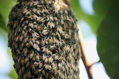 Un enjambre de las abejas de la miel Fotos de archivo libres de regalías