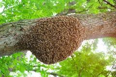 Un enjambre de las abejas de la miel que se aferran en un árbol Apicultura Fotografía de archivo