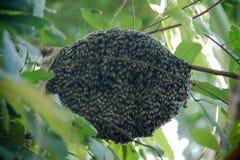 Un enjambre de las abejas pegadas alrededor un roble imágenes de archivo libres de regalías
