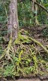 Un enredo de raíces tropicales Foto de archivo libre de regalías