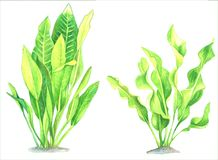 Un ensemble d'images d'aquarelle d'algue sur un fond blanc Images libres de droits