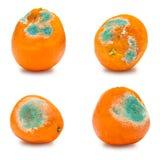 Un ensemble d'oranges moisies putréfiées, mandarines d'isolement sur le fond blanc Une photo du moule croissant Contamination des Photographie stock libre de droits