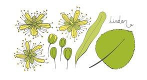 Un ensemble de tilleul Éléments d'isolement du Tilia Feuilles, fleurs et bourgeons de basswood limetree ou limettier Photos stock