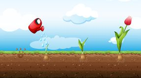 Un ensemble de Tulip Growth Stage Illustration Stock
