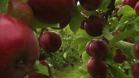 Un'erba e una mela video d archivio