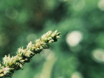 Un'erba selvatica Immagini Stock Libere da Diritti