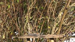 Un Erithacus di rubecula di Robin dell'europeo ha atterrato su una tavola, per alimento archivi video