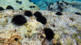 Un erizo de mar en la parte inferior del océano en rocas subacuáticas Inmersión con un gopro de la cámara en el agua almacen de metraje de vídeo
