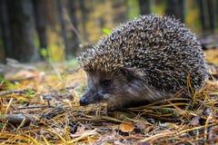 Un erizo joven curioso vive en el bosque del pino Fotografía de archivo libre de regalías