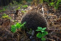 Un erizo joven curioso vive en el bosque del pino Foto de archivo