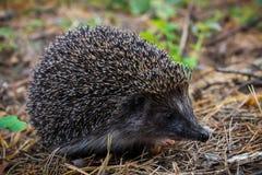 Un erizo joven curioso vive en el bosque del pino Fotografía de archivo