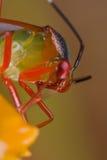 Un errore di programma di mirid variopinto su un wildflower arancione Immagine Stock