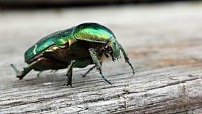 Un escarabajo Fotos de archivo