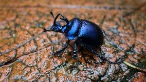 Un escarabajo Imagen de archivo libre de regalías
