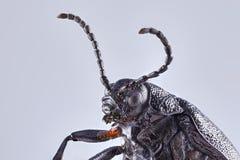 Un escarabajo de estiércol grande del tierra-taladro en un fondo sólido Cierre macro encima de apilar imagen fotos de archivo
