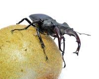 Un escarabajo de macho en el kiwi de la fruta Foto de archivo