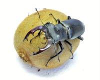 Un escarabajo de macho en el kiwi de la fruta Imágenes de archivo libres de regalías