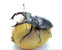 Un escarabajo de macho en el kiwi de la fruta Fotografía de archivo libre de regalías