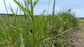 Un escarabajo de señora rojo con los puntos negros se arrastra en una planta verde almacen de video