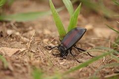 Un escarabajo del pinacate se defiende levantando su parte posterior y secretando un olor repulsivo imagen de archivo libre de regalías